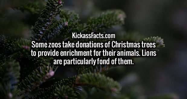 Some zoos take donations of Christmas trees to provide enrichment for their animals. Lions are particularly fond of them.