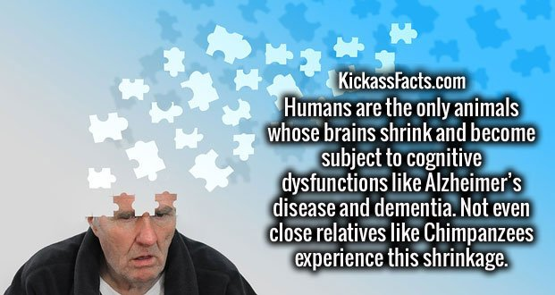 Humans are the only animals whose brains shrink and become subject to cognitive dysfunctions like Alzheimer's disease and dementia. Not even close relatives like Chimpanzees experience this shrinkage.