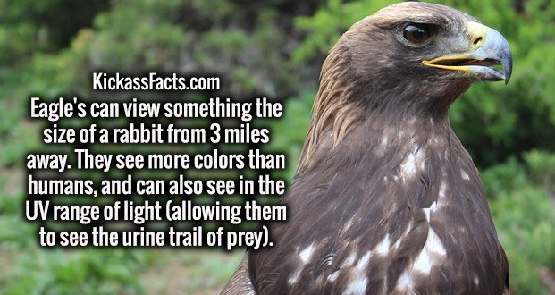Eagle's can view something the size of a rabbit from 3 miles away. They see more colors than humans, and can also see in the UV range of light (allowing them to see the urine trail of prey).