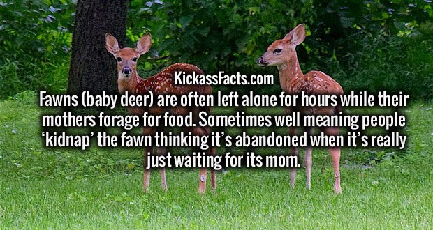 Fawns (baby deer) are often left alone for hours while their mothers forage for food. Sometimes well meaning people 'kidnap' the fawn thinking it's abandoned when it's really just waiting for its mom.