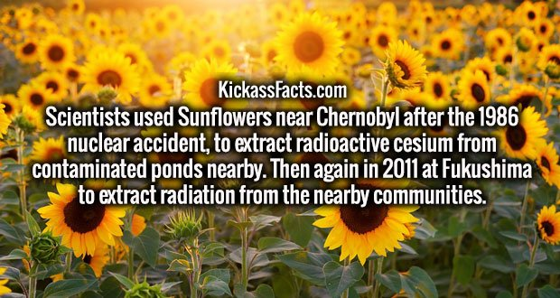 Scientists used Sunflowers near Chernobyl after the 1986 nuclear accident, to extract radioactive cesium from contaminated ponds nearby. Then again in 2011 at Fukushima to extract radiation from the nearby communities.