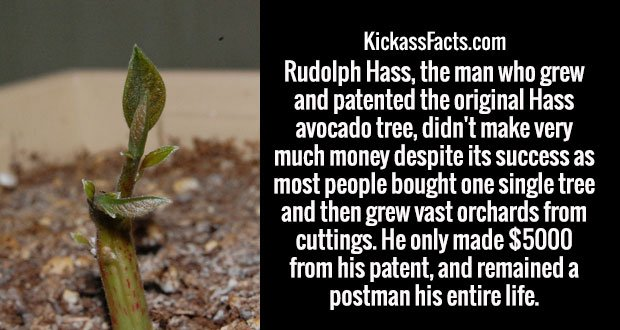 Rudolph Hass, the man who grew and patented the original Hass avocado tree, didn't make very much money despite its success as most people bought one single tree and then grew vast orchards from cuttings. He only made $5000 from his patent, and remained a postman his entire life.