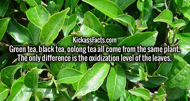 Green tea, black tea, oolong tea all come from the same plant. The only difference is the oxidization level of the leaves.