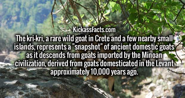 "The kri-kri, a rare wild goat in Crete and a few nearby small islands, represents a ""snapshot"" of ancient domestic goats as it descends from goats imported by the Minoan civilization, derived from goats domesticated in the Levant approximately 10,000 years ago."