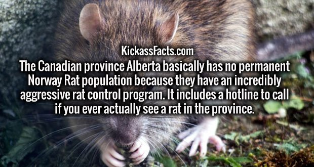 The Canadian province Alberta basically has no permanent Norway Rat population because they have an incredibly aggressive rat control program. It includes a hotline to call if you ever actually see a rat in the province.