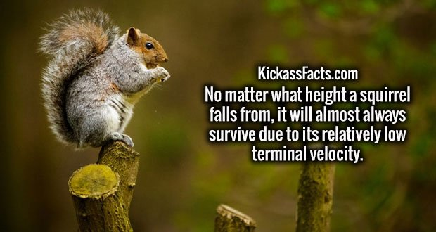 No matter what height a squirrel falls from, it will almost always survive due to its relatively low terminal velocity.
