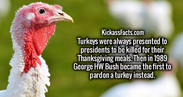 Turkeys were always presented to presidents to be killed for their Thanksgiving meals. Then in 1989 George HW Bush became the first to pardon a turkey instead.
