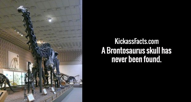 A Brontosaurus skull has never been found.