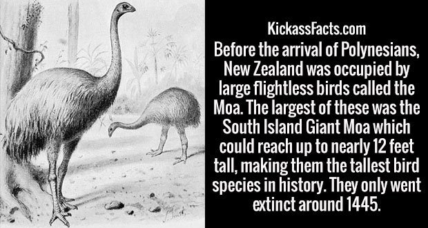 Before the arrival of Polynesians, New Zealand was occupied by large flightless birds called the Moa. The largest of these was the South Island Giant Moa which could reach up to nearly 12 feet tall, making them the tallest bird species in history. They only went extinct around 1445.