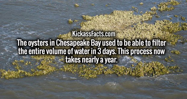 The oysters in Chesapeake Bay used to be able to filter the entire volume of water in 3 days. This process now takes nearly a year.