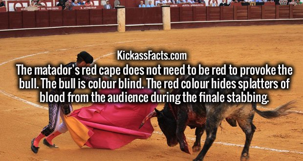 The matador's red cape does not need to be red to provoke the bull. The bull is colour blind. The red colour hides splatters of blood from the audience during the finale stabbing.
