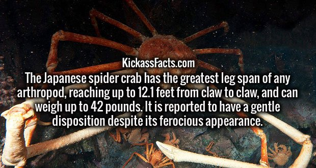 The Japanese spider crab has the greatest leg span of any arthropod, reaching up to 12.1 feet from claw to claw, and can weigh up to 42 pounds. It is reported to have a gentle disposition despite its ferocious appearance.