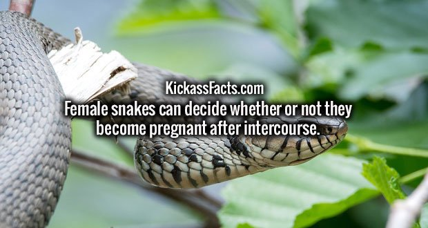 Female snakes can decide whether or not they become pregnant after intercourse.