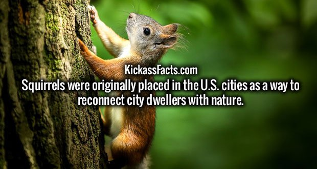 Squirrels were originally placed in the U.S. cities as a way to reconnect city dwellers with nature.