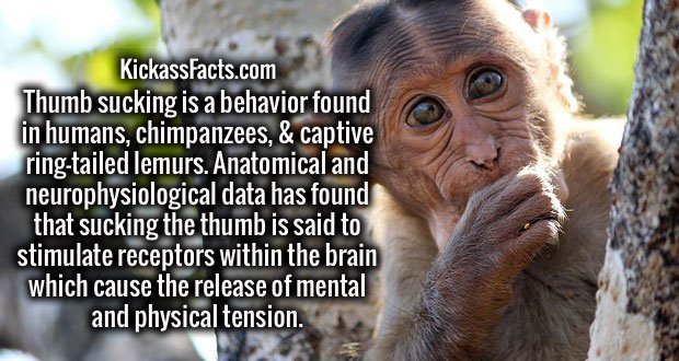 Thumb sucking is a behavior found in humans, chimpanzees, & captive ring-tailed lemurs. Anatomical and neurophysiological data has found that sucking the thumb is said to stimulate receptors within the brain which cause the release of mental and physical tension.