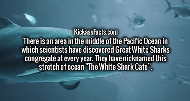 """There is an area in the middle of the Pacific Ocean in which scientists have discovered Great White Sharks congregate at every year. They have nicknamed this stretch of ocean """"The White Shark Cafe""""."""