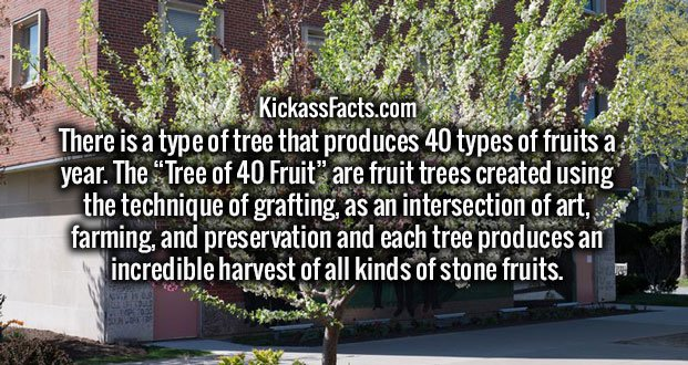 "There is a type of tree that produces 40 types of fruits a year. The ""Tree of 40 Fruit"" are fruit trees created using the technique of grafting, as an intersection of art, farming, and preservation and each tree produces an incredible harvest of all kinds of stone fruits."