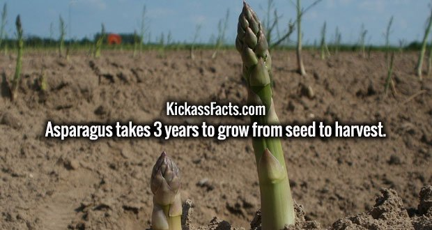 Asparagus takes 3 years to grow from seed to harvest.
