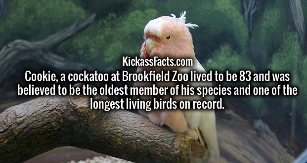 Cookie, a cockatoo at Brookfield Zoo lived to be 83 and was believed to be the oldest member of his species and one of the longest living birds on record.