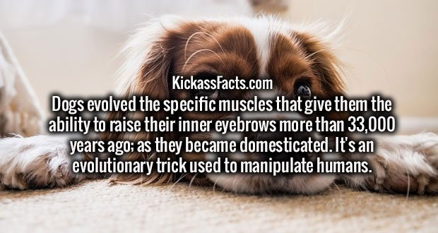 Dogs evolved the specific muscles that give them the ability to raise their inner eyebrows more than 33,000 years ago; as they became domesticated. It's an evolutionary trick used to manipulate humans.