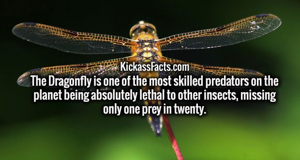 The Dragonfly is one of the most skilled predators on the planet being absolutely lethal to other insects, missing only one prey in twenty.