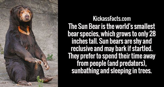 The Sun Bear is the world's smallest bear species, which grows to only 28 inches tall. Sun bears are shy and reclusive and may bark if startled. They prefer to spend their time away from people (and predators), sunbathing and sleeping in trees.