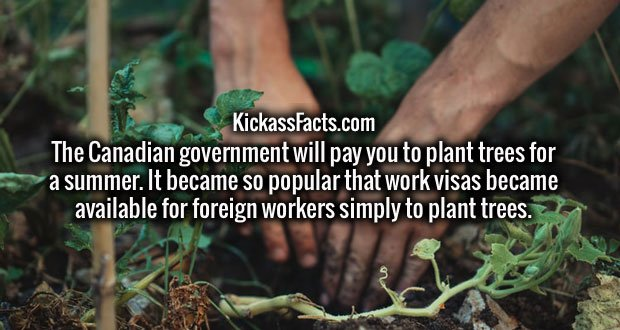 The Canadian government will pay you to plant trees for a summer. It became so popular that work visas became available for foreign workers simply to plant trees.