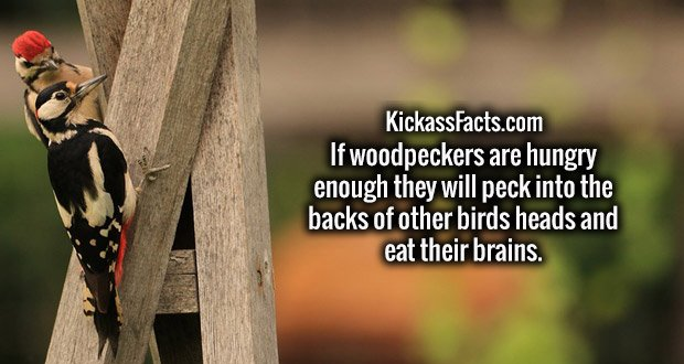 If woodpeckers are hungry enough they will peck into the backs of other birds heads and eat their brains.