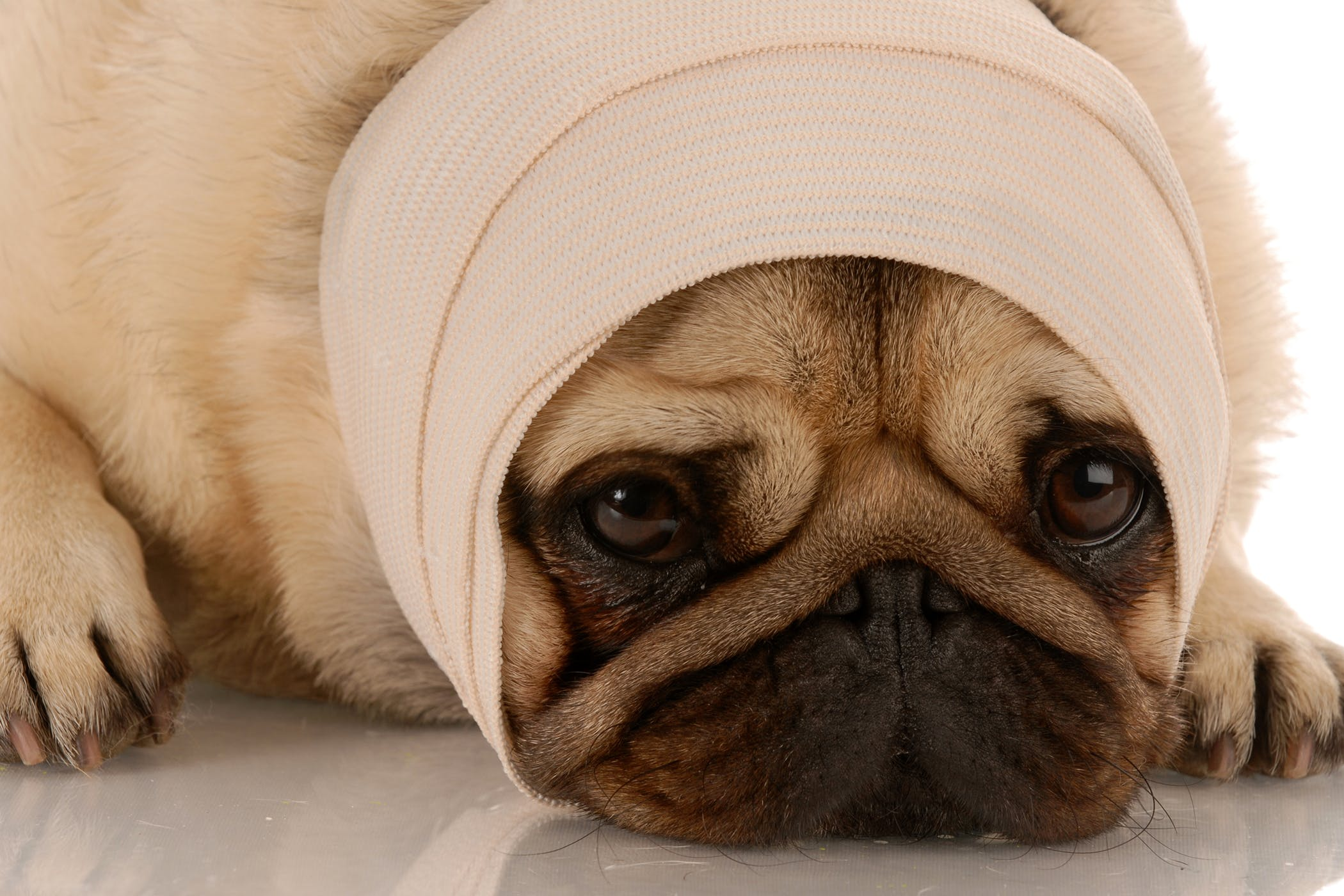 Conheça 5 preocupações comuns com a saúde dos Pugs